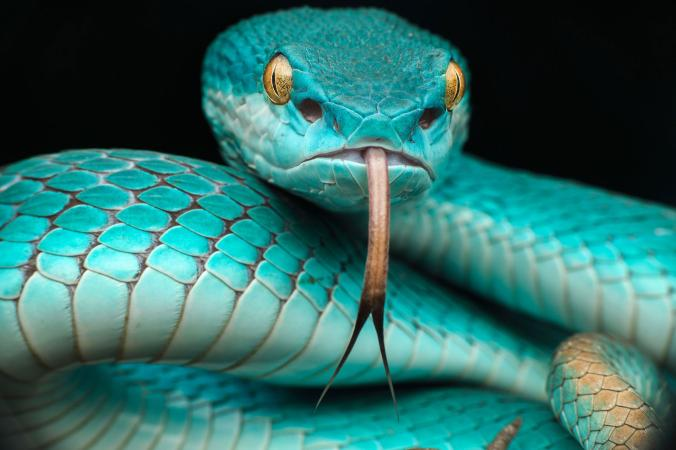 A+blue+snake+with+yellow+eyes+is+flicking+its+tongue+out