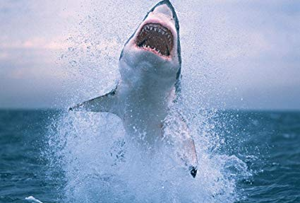 A Great White shark is jumping out of the water with its mouth open.
