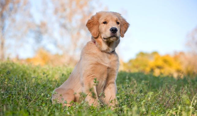 Picture+of+a+Golden+Retriever