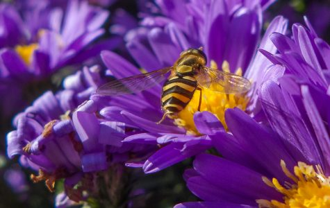 Shows a yellow bee on a purple flower.