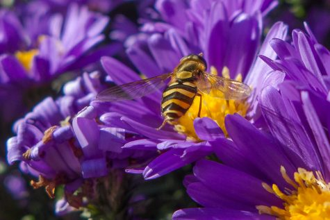 "Shows a yellow bee on a purple flower.  ""Purple and Gold"" by Ed Suominen is licensed under CC BY-NC 2.0"
