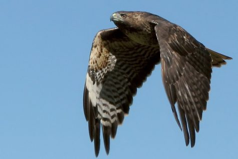 """Redtailed hawk, close"" by wolfpix is licensed under CC BY-ND 2.0"