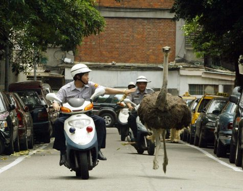 """Escaping ostrich,2004"" by sheng-fa lin 林勝發 is licensed under CC BY-NC-ND 2.0"