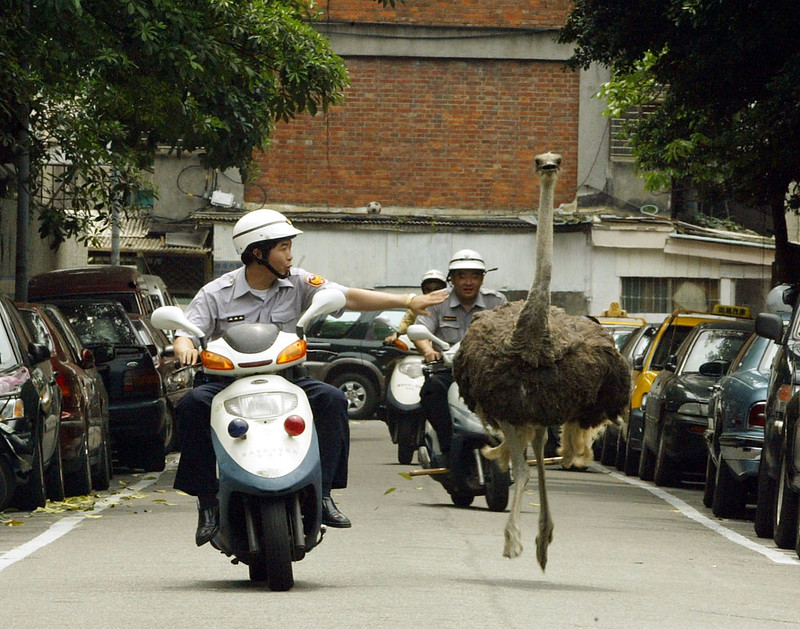 Escaping ostrich,2004 by sheng-fa lin 林勝發 is licensed under CC BY-NC-ND 2.0