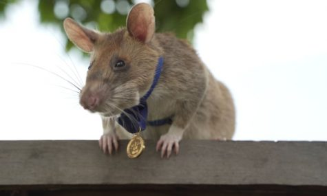 Mine-detecting Rat Wins Gold Medal