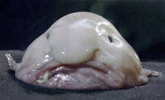 """blobfish-s400x244-2297-580"" by jamasca66 is licensed with CC BY-NC 2.0. To view a copy of this license, visit https://creativecommons.org/licenses/by-nc/2.0/"