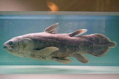 """Coelacanthe"" by sybarite48 is licensed under CC BY 2.0"