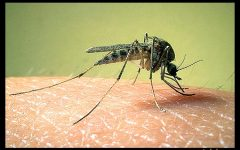 Navigation to Story: Mosquitoes, The Deadliest Animal on the Planet