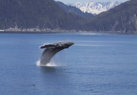 """Breaching Humpback Whale (Megaptera novaeangliae)"" by Gregory"