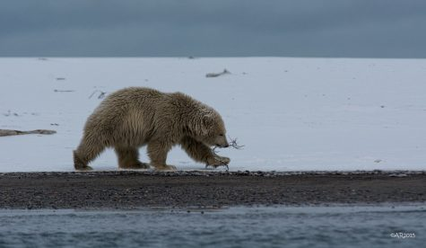 """Polar Bear Cub"" by puliarf is licensed under CC BY 2.0"