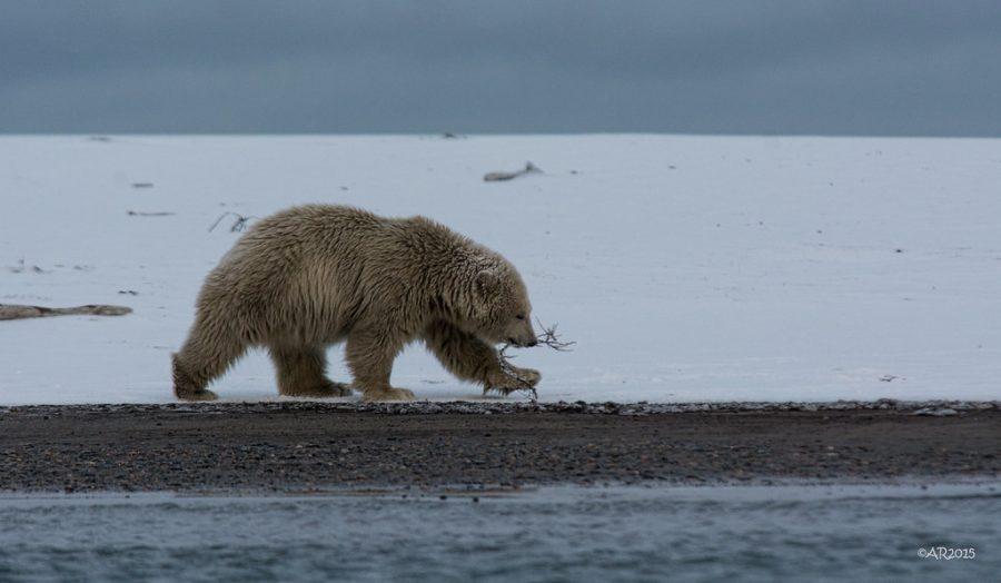 """""""Polar Bear Cub"""" by puliarf is licensed under CC BY 2.0"""