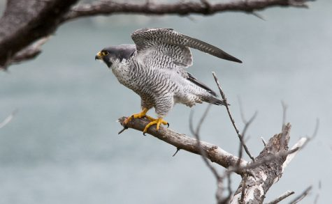 """Male Peregrine Falcon"" by USFWS Headquarters is licensed under CC BY 2.0"