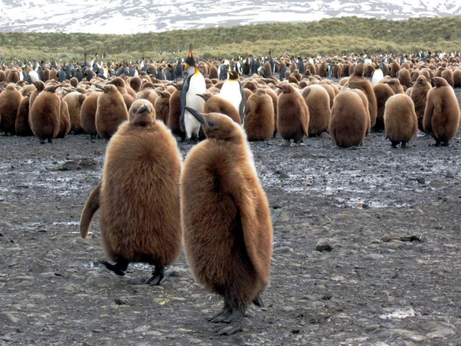 %22King+Penguin+Chicks%22+by+D-Stanley+is+licensed+under+CC+BY+2.0