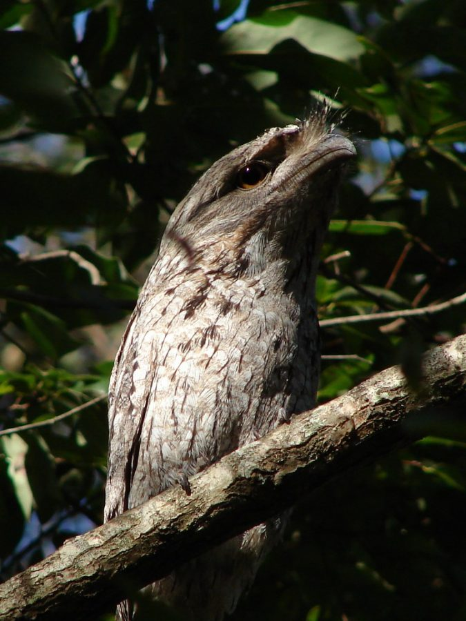 """""""Tawny Frogmouth"""" by Tatters ✾ is licensed under CC BY 2.0"""