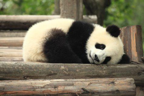 """Image Source:  """"Panda"""" by George Lu is licensed under CC BY 2.0"""