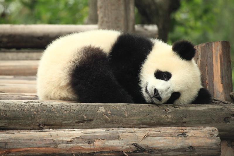 Image Source:  Panda by George Lu is licensed under CC BY 2.0