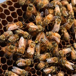 Bees - Why Are They Important?