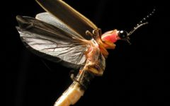Navigation to Story: Fireflies And How They Are Able To Light Up