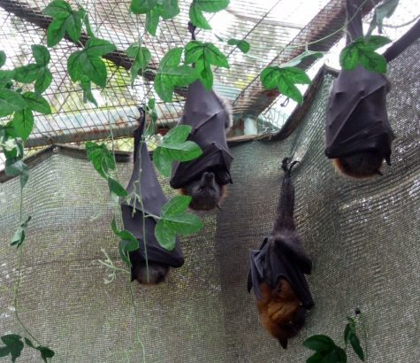 """""""Sleeping bats"""" by YuvalH is licensed under CC BY 2.0"""